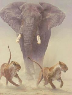 Bull elephant chasing off lionesses