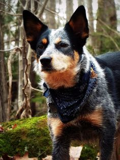 Australian Cattle Dog. Sturdy, tough, intelligent, smart, loyal, protector and hardy dog.