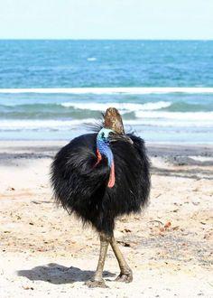 野鳥撮影目的で初めての海外渡航でした。聞きしに勝る種類の野鳥撮影ができました。おそらく100種類はゆうに超えていると思われます。名称不詳の野鳥もありボチボチと撮影順にアップしていきます。<br />4人グループで現地日本人ガイド6日間お願いしてのケアンズ周辺での探鳥でした。お天気にも恵まれまれましたが暑さとの戦いでもありました。32度前後の毎日で日本と同様に湿度も高くペットボトルが離せませんでした。<br />それでも熱帯雨林の中のロッジでの宿泊が5泊あり毎朝野鳥の声で目を覚ます贅沢な時を過ごしました。<br />初日はケアンズ空港を早朝出発。市内周辺を探鳥したあとで南部のヒクイドリの海岸を経由してアサートン高原の宿泊ロッジまでの探鳥ドライブです Weird Birds, Cairns, Travelogue, Badass, Australia, Animals, Birds, Animais, Animales