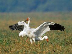 Grus leucogeranus / Grulla Siberiana/ Siberian Crane /Grue de Sibérie/Schneekranich