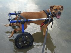 Disabled Dogs Adopted   Handicapped Pets: Freedom for Chained and Paralyzed Dogs