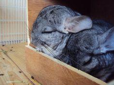 Sleepy chinchillas