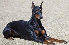 Todo lo que necesitas saber sobre los instintos de un Doberman, para proteger a su amo, es que ellos fueron criados para ser perros que acompañaban a un cobrador de impuestos mientras él hacía sus rondas. Hoy en día, los Dobermans se consideran unos de los mejores perros de guardia …