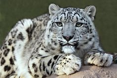 New research finds that endangered snow leopards are being protected by hundreds of Buddhist monasteries on the Tibetan plateau.