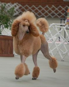 Poodle without Haircut 38533 Amazing Haircut On This Standard Poodle Looks Like He She Knows It Poodle Grooming, Pet Grooming, Apricot Standard Poodle, Standard Poodles, Cortes Poodle, I Love Dogs, Cute Dogs, Red Poodles, Poodle Cuts