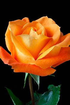 Captivating Why Rose Gardening Is So Addictive Ideas. Stupefying Why Rose Gardening Is So Addictive Ideas. Orange Rosen, Foto Rose, Fleur Orange, Orange Yellow, Growing Roses, Hybrid Tea Roses, Flower Pictures, Beautiful Roses, Yellow Flowers