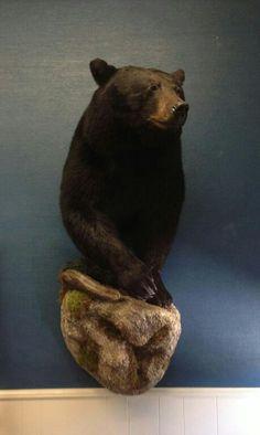 He's finally on the wall. My Minnesota black bear from last year.