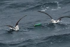 Almost 100 kilometres from Tasmania's coast, CSIRO researchers discovered birds eating a party balloon and playing with a plastic bottle. They also found a soft drink can metres under the sea. Trend Sport, Plastic Pollution, Bird Toys, Sea Birds, Plastic Bottles, Under The Sea, Drink Bottles, Soft Drink, Animal Science