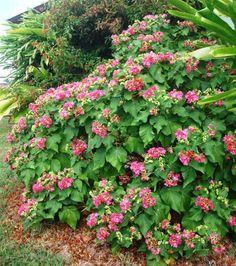 florida hydrangea