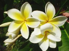 How to Care for Frangipanis/Champa/Plumeria Plant