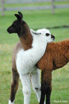 The Llama, and Guanaco, and Alpaca are all so cute. Alpacas, Farm Animals, Animals And Pets, Funny Animals, Cute Animals, Lama Animal, Animal Hugs, Beautiful Creatures, Animals Beautiful