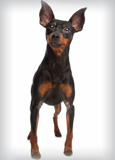 """Learn more details on """"pinscher puppies"""". Browse through our site. Mini Pinscher, Miniature Pinscher, Prager Rattler, Miniature Doberman, Black And Tan Terrier, Pincher Dog, Doberman Pinscher Puppy, Purebred Dogs, Dobermans"""