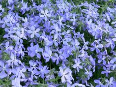 How to divide creeping phlox- just found a big plant in the garden Small Yard Landscaping, Mailbox Landscaping, Landscaping Ideas, Inexpensive Landscaping, Outdoor Plants, Outdoor Gardens, Outdoor Spaces, Shade Garden, Garden Plants