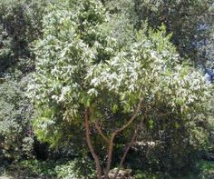 Prunus ilicifolia ssp. lyonii-Catalina Cherry  Small tree clean glossy lvs white flowers  Elevation: hills canyons up to 1500' Plant Community: chaparral. Dense evergreen tree w/large glossy leaves. Mature 45' garden plants usually 20'tx10'w. Showy white flower clusters/lg berries ripen red then black Inland valleys-deep monthly watering  sufficient. Perfect for use as tall screen Full sun/part shade away from concrete walks as berries attract songbirds/can be messy