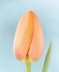 Peach Tulips are a beautiful addition to a yellow and white Easter table...