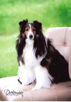 """Our sweet Sheltie """"Sophie"""""""