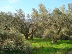 Potatura, Olivenbäume schneiden