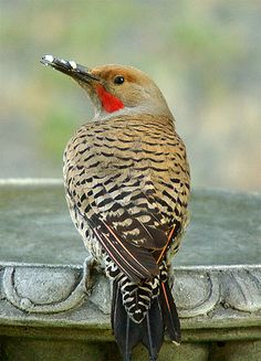 Northern Flicker - A big fan of the suet cake feeder.