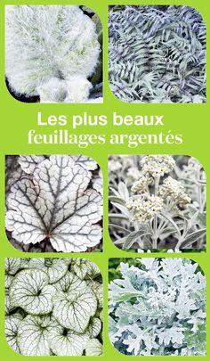 Pour éclairer le jardin en toute saison, une zone d'ombre ou le pied d'un arbre par exemple, essayez les plantes au feuillage argenté.