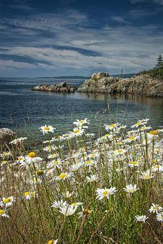 ✯ Daisies On Maine's Acadia Shoreline