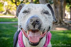 A smiling pit bull mix wearing a bandana at the park.
