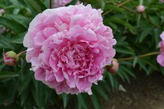 'Emma Klehm' peony - I have lots of these - she's my great grandma!