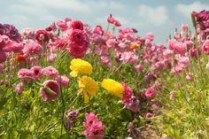 Цветочное поле в Карлсбаде, Калифорния