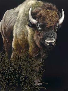 american buffalo - scratchboard by Sally Maxwell
