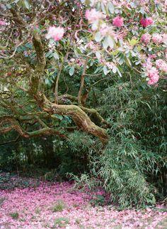 cherry blossom trees | ireland