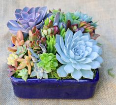 Succulent arrangement/centerpiece in cobalt by iDreamOfSucculents