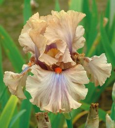 Coffee Trader | Tall Bearded Fragrant Bloom Season: Midseason late Fragrant: Yes Rebloom: No This Australian import's unique color is described as creamy coffee. Note the delicate violet tones at the midribs of the standards and surrounding the bright tangerine beards. Strong ruffles create the sense of a frothy concoction. Coffee Trader is blessed with an invitingly sweet fragrance.