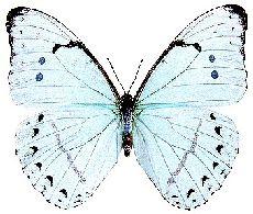 Azulão-branco (Morpho athena)    Borboleta de grande porte, podendo atingir até 145 mm de envergadura. Habita regiões com altitudes acima de 1500 m. É vista voando em fins de fevereiro, março e abril. O indivíduo adulto alimenta-se de frutos bem maduros, em fermentação. A fêmea, em geral, é guiada pelo cheiro de plantas como o ingazeiro, para pôr os ovos na parte superior de folhas que recebam luz e sombra. ......