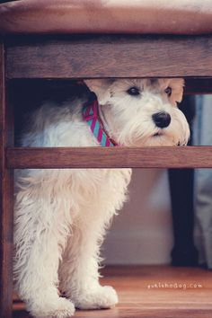 Hiding by Melissa Heard #Miniature #Schnauzer