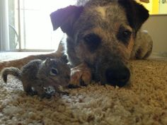 Dogs adopt rescued baby squirrel...