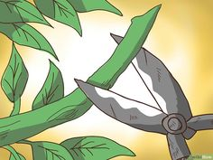 How to Prune a Lemon Tree. Lemon trees come in all sizes. They range from the dwarf lemon tree, which can grow 2 to 8 feet to m), to standard trees that can reach 15 feet m) or higher. The Meyer lemon can be grown in a pot. Indoor Lemon Tree, Lemon Tree Potted, Lemon Plant, Citrus Trees, Potted Trees, Bonsai Trees, Meyer Lemon Tree Care, Growing Lemon Trees, Gardening