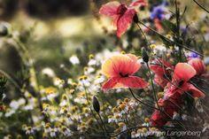 Summer - Poppies in the evening sun.  DE-Krefeld Nordrhein-Westfalen  Taken with  Canon EOS 80D and 50-100mm F1.8 DC HSM | Art 016  Sek. bei ƒ / 32 50 mm ISO 250  #summer #poppy #poppies #sigma50100 #sigma50100art #canon80d #flowers #nikfilter