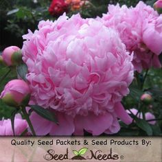 """50 Flower Seeds, Poppy """"Pale Rose Peony"""" (Papaver paeoniflorum) Packaged By Seed Needs, http://www.amazon.com/dp/B00H50FB6Q/ref=cm_sw_r_pi_awdm_OC2Dtb165JX7R"""