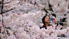 As spring approaches in Japan, the country's weather forecasters face one of their biggest missions of the year: predicting exactly when the famed cherry blossoms will bloom. Japan Cherry Blossom Season, Cherry Blossom Dating, Cherry Blossom Tree, Blossom Trees, Cherry Tree, Chiba, Festivals, Japan Sakura, Cherry Flower