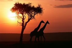 African Sunset Giraffes Tree Canvas Pictures Animal Wall Art Prints All Sizes Giraffe Pictures, Canvas Pictures, African Animals, African Safari, Worlds Cutest Animals, African Sunset, Africa Destinations, Tree Canvas, Sunset Wallpaper