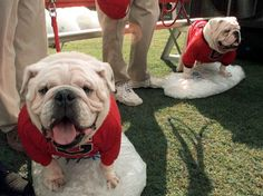 Georgia Bulldog mascots Uga V (left) and his son Uga VI at Sanford Stadium, September 11, 1999. The pregame passing of the bone ceremony from Uga V to his heftier and friskier son, Whatchagot Loran, took place at the 1999 Georgia-South Carolina contest. Only a year old at his coronation, Uga VI stands as the biggest of all the Uga mascots weighing in at 65 pounds - 20 pounds heavier than his father.