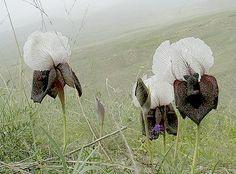 iris elegantissima