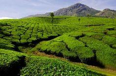 Зеленый чай высокого качества