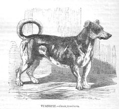 "The Turnspit Dog was a short-legged, long-bodied dog bred to run on a wheel, called a turnspit or dog wheel, to turn meat so that it would cook evenly. The dogs were also taken to church to serve as foot warmers. One story says that during service at a church in Bath, the Bishop of Gloucester gave a sermon and uttered the line ""It was then that Ezekiel saw the wheel"". At  mention of the word ""wheel"" several turnspit dogs, who had been brought to church as foot warmers, ran for the door!"