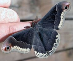 Male Prometheus Moth - What's That Bug? Beautiful Bugs, Beautiful Butterflies, Funny Animals, Cute Animals, Moon Moth, Nocturne, Cool Bugs, Bugs And Insects, Beautiful Creatures