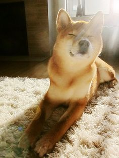 Shiba inu. I have wanted a Shiba for years. I love their little fox like faces and the happiness they bring into a room.