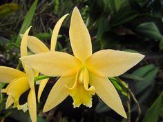 Laelia Canariensis 'Shanti Gardens' - orchid