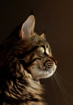 Profile of a Tabby...