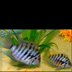 My convict cichlid pair!
