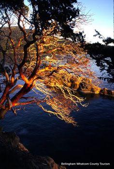 Chuckanut Drive Madrona Tree