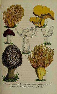 La Belgique horticole, journal des jardins et des vergers, vol. 5: p. 315, t. 51 (1855) family: 218657